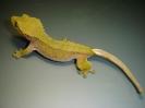 X 7 Rhacodactylus ciliatus  Samička patternless yellow