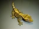 X 6 Rhacodactylus ciliatus  Samička harlequin