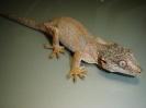 Rhacodactylus auriculatus samička pink