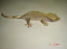 X 4  Rhacodactylus ciliatus samička patternless pink