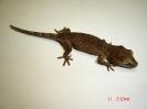Rhacodactylus auriculatus brown
