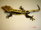 X1 Rhacodactylus ciliatus sameček black-cream  100% pinstripe